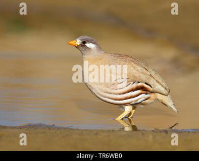 Arabisches Wuestenhuhn (Ammoperdix heyi), Maennchen, Oman, Salalah | sand partridge (Ammoperdix heyi), male, Oman, Salalah | BLWS491108.jpg [ (c) blic - Stock Photo