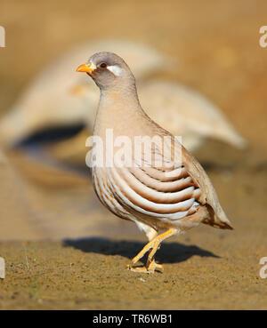 Arabisches Wuestenhuhn (Ammoperdix heyi), Maennchen, Oman, Salalah | sand partridge (Ammoperdix heyi), male, Oman, Salalah | BLWS491109.jpg [ (c) blic - Stock Photo