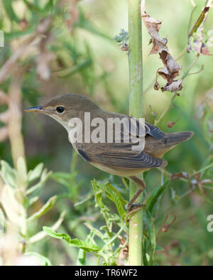 Eurasian Reed Warbler, Caspian Reed Warbler (Acrocephalus scirpaceus ssp. fuscus, Acrocephalus scirpaceus fuscus, Acrocephalus fuscus), Kazakhstan - Stock Photo