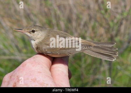 Eurasian Reed Warbler, Caspian Reed Warbler (Acrocephalus scirpaceus ssp. fuscus, Acrocephalus scirpaceus fuscus, Acrocephalus fuscus), sitting on a hand, Kazakhstan - Stock Photo