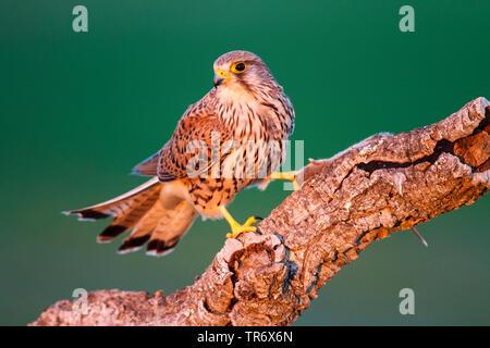 European Kestrel, Eurasian Kestrel, Old World Kestrel, Common Kestrel (Falco tinnunculus), male perching on a branch, Spain, Toledo - Stock Photo