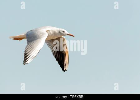 slender-billed gull (Larus genei, Chroicocephalus genei), flying, Spain - Stock Photo