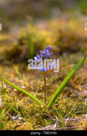 twin-leaf squill (Scilla bifolia), blooming, Germany - Stock Photo