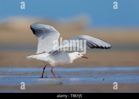 slender-billed gull (Larus genei, Chroicocephalus genei), walking with outstretched wings on the beach, Spain, Katalonia - Stock Photo