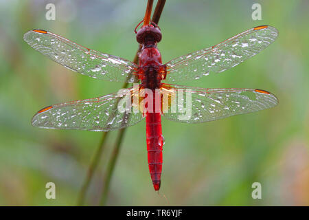 Broad Scarlet, Common Scarlet-darter, Scarlet Darter, Scarlet Dragonfly (Crocothemis erythraea, Croccothemis erythraea), male with dewdrops at a stem, Germany, Bavaria - Stock Photo