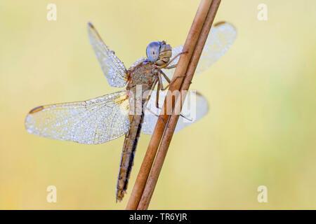 Broad Scarlet, Common Scarlet-darter, Scarlet Darter, Scarlet Dragonfly (Crocothemis erythraea, Croccothemis erythraea), female with dewdrops at a stem, Germany, Bavaria - Stock Photo