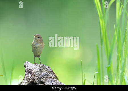 willow warbler (Phylloscopus trochilus), perching on dead wood, Germany, Bavaria - Stock Photo