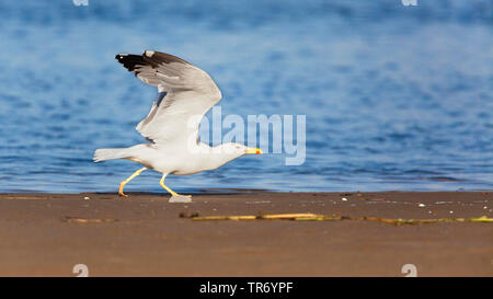 Yellow-legged Gull (Larus michahellis, Larus cachinnans michahellis), walking with outstretched wings on the beach, Spain, Katalonia, Costa Daurada - Stock Photo