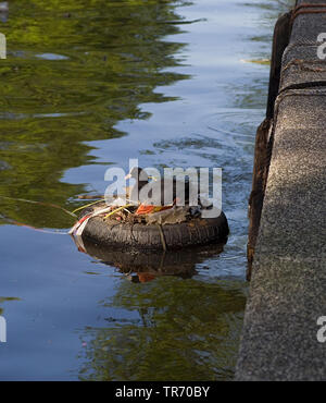 black coot (Fulica atra), broedend in Amsterdamse grachten, Netherlands, Amsterdam - Stock Photo