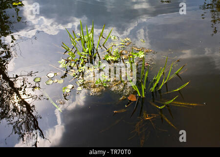 crab's-claw, water-soldier (Stratiotes aloides), Netherlands - Stock Photo