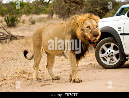 lion (Panthera leo), passing a jeep, South Africa, Krueger National Park - Stock Photo