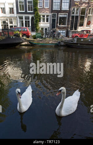 mute swan (Cygnus olor), pair swimming in Amsterdam canals, Netherlands, Amsterdam - Stock Photo