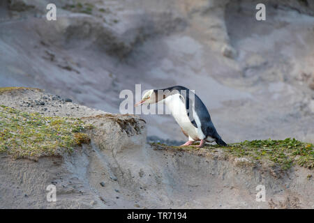 yellow-eyed penguin (Megadyptes antipodes), standing on a hill on Enderby Island, New Zealand, Auckland islands, Enderby Island - Stock Photo