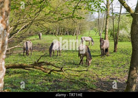 Konik horse (Equus przewalskii f. caballus), grazing herd at the forest edge, Netherlands, Groningen, Ennemaborg - Stock Photo