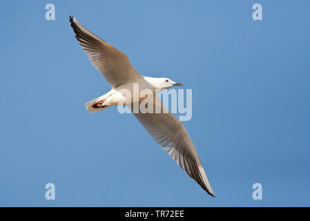slender-billed gull (Larus genei, Chroicocephalus genei), flying, Israel - Stock Photo
