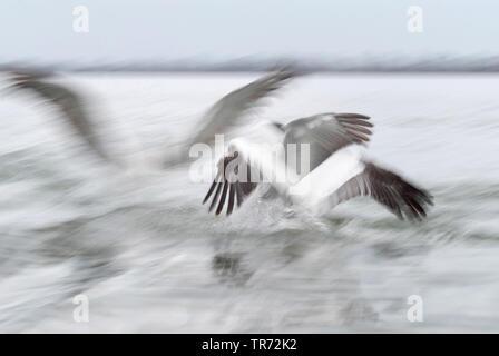 Krauskopfpelikan, Krauskopf-Pelikan (Pelecanus crispus), startend, Griechenland, Kerkini-See | Dalmatian pelican (Pelecanus crispus), starting, Greece - Stock Photo