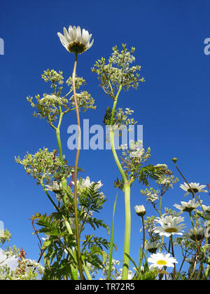 oxeye daisy, ox-eye daisy, white-weed, white daisy, dog daisy, marguerite (Chrysanthemum leucanthemum, Leucanthemum vulgare), blooming, from below, with cow parsley, Netherlands, Texel - Stock Photo