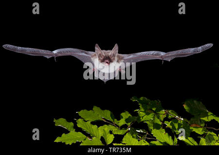 Bechstein's bat (Myotis bechsteinii), flying at night, France - Stock Photo