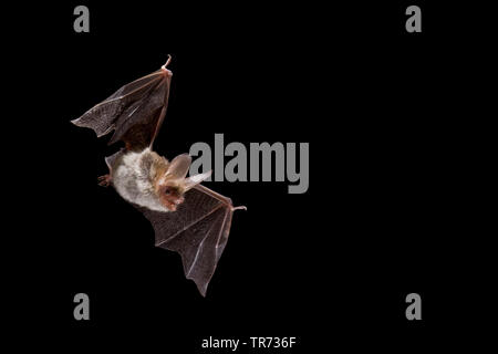 Bechstein's bat (Myotis bechsteinii), flying at night, Belgium - Stock Photo