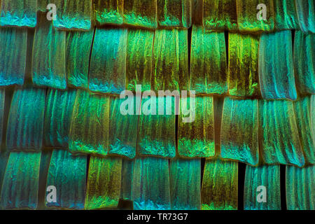 Green-banded Urania (Urania leilus), wings of butterfly, scales