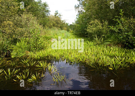 crab's-claw, water-soldier (Stratiotes aloides), chanel an boat, Netherlands, Weerribben-Wieden National Park - Stock Photo
