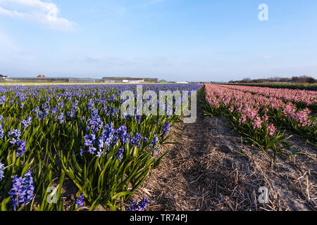 Jacinthe (Hyacinthus orientalis), Bulb Field with different colors of Hyacinths, Netherlands, Northern Netherlands - Stock Photo