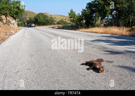 Beech marten, Stone marten, White breasted marten (Martes foina), as roadkill, Greece, Lesbos - Stock Photo