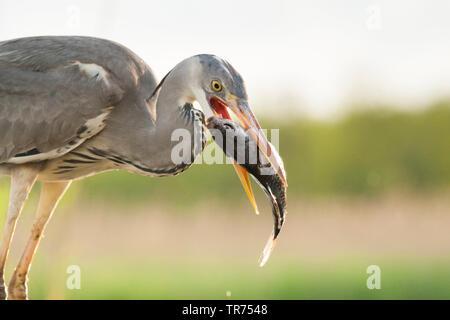 grey heron (Ardea cinerea), with fish in the beak, Hungary - Stock Photo