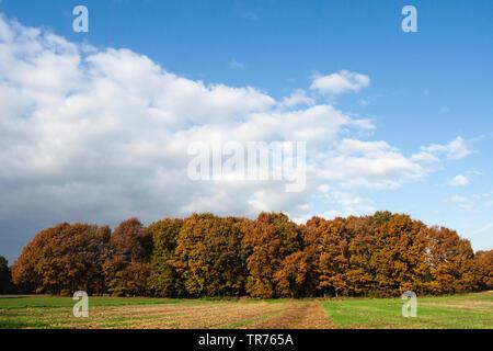 forest at Het Gooi in autumn, Netherlands, Northern Netherlands, Het Gooi - Stock Photo
