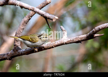 blyth's crowned willow warbler (Phylloscopus reguloides), sitting on branch in forest, China, Beidaihe - Stock Photo