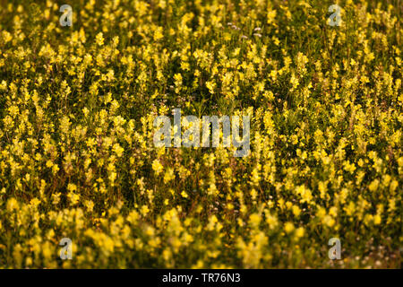 yellow rattle (Rhinanthus spec.), meadow with blooming yellow rattle, Netherlands, South Holland, Zuidduinen - Stock Photo