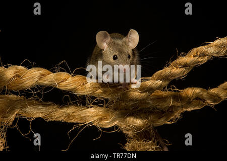 house mouse (Mus musculus), sitting on a rope, Netherlands - Stock Photo