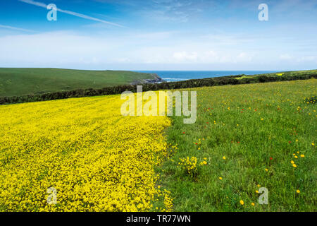 Colourful wildflowers growing in a field at the Arable Fields Project on West Pentire in Newquay in Cornwall. - Stock Photo