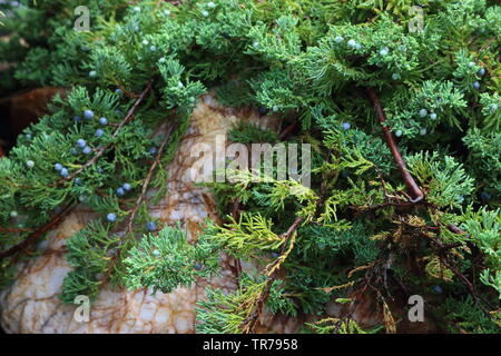 Thuja with cones at the dacha - Stock Photo