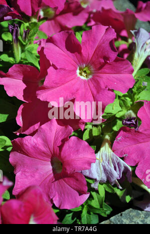 Petunia grandiflora pink flowers, green leaves background close up detail - Stock Photo