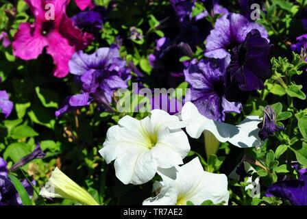 Petunia grandiflora pink, white and dark purple flowers, top view background close up detail - Stock Photo