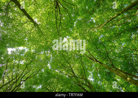 The Beech trees and forest / Stubnitz of Jasmund National Park UNESCO world heritage site on the Baltic coast of Rugen island Germany - forest bathing - Stock Photo