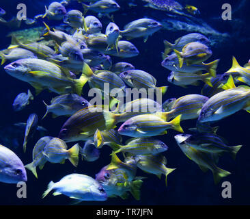 School fish of blue lined snapper fish swimming marine life underwater ocean / Lutjanus kasmira - Stock Photo