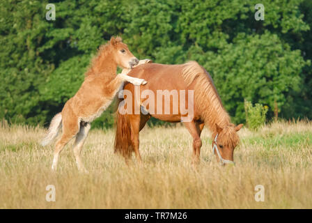 A cute frisky Shetland pony foal playing with its mother in a pasture, the young chestnut colored colt rearing up the front feet on mares back - Stock Photo