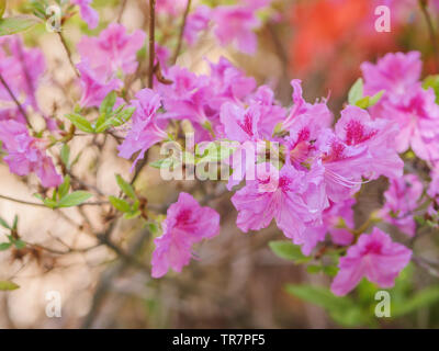 Rhododendron obtusum flowers in the park. Natural light. - Stock Photo