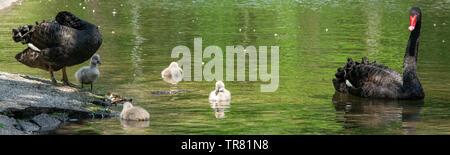 Black swans with their chicks. Animal wildlife - Stock Photo