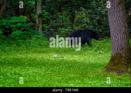 A large black bear seen at a the edge of a think forest at Templeton's homestead in Cades Cove Valley, Tennessee - Stock Photo