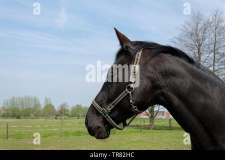 Nice portrait of a black horse in the field with a blue sky - Stock Photo