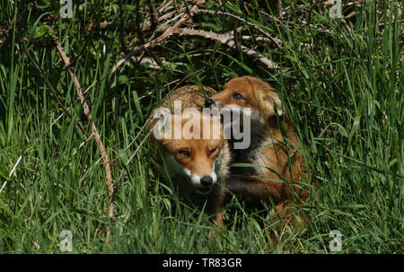 A cute wild Red Fox cub, Vulpes vulpes, is biting the ear of the vixen as the come out of the den in the undergrowth. - Stock Photo