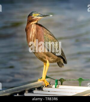 Green Heron, Butorides Virescens - Stock Photo