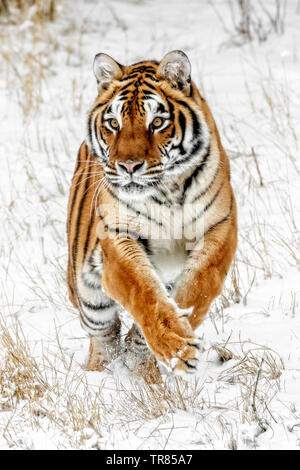 The Siberian tiger is the largest of the big cats and can weigh up to 670 pounds. In the wild their weight is usually as much as 500 pounds. - Stock Photo