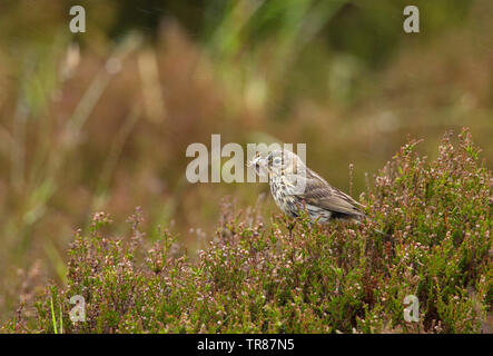 Meadow Pipit, Anthus pratensis,  Single adult perched on heather with insect in bill. The Highlands, Scotland, UK. - Stock Photo
