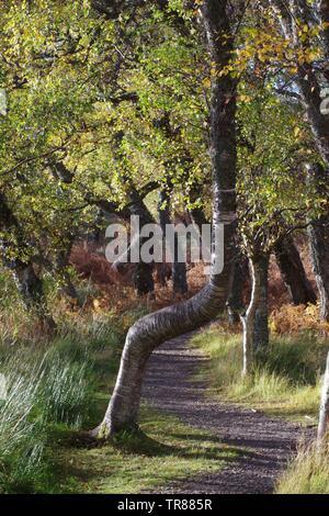 Woodland Path Through Silver Birch Trees. Muir of Dinnet NNR, Cairngorms, Scotland, UK. - Stock Photo