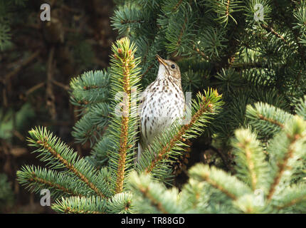 Song thrush (Turdus philomelos) singing on the branch of fir tree - Stock Photo