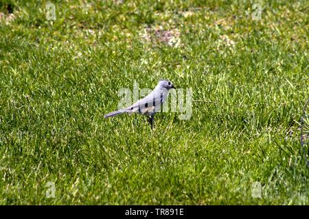 A Tufted Titmouse In The Grass - Stock Photo